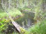 Вейниково-разнотравная растительность по берегам ручья, заказник «Юпяужсуо»