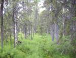 Заболоченный ельник хвощово-сфагновый